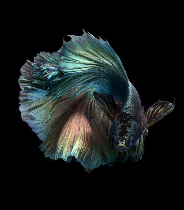 Бойцовая рыбка на черном фоне. Фото: Visarute Angkatavanich.
