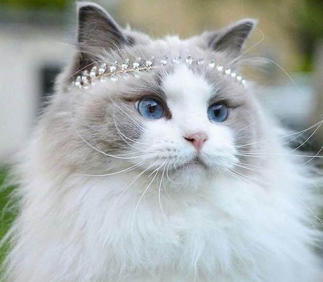 Самая красивая кошка в мире, умная и преданная как собака...