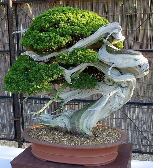 25 потрясающих деревьев бонсай