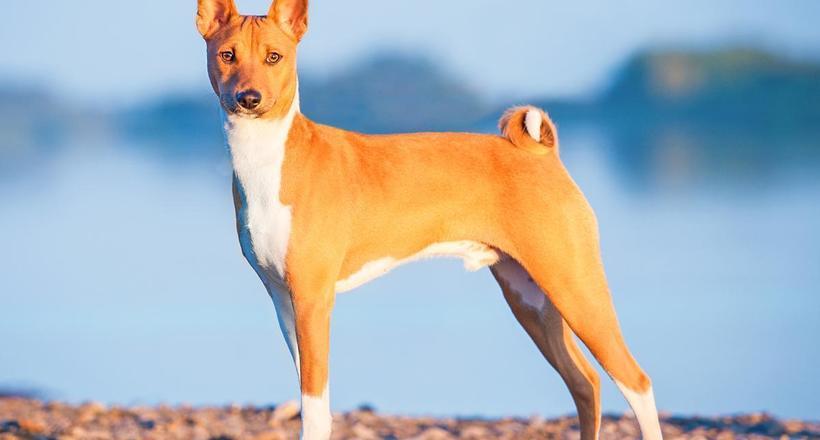 Басенджи — единственные собаки, которые не умеют лаять