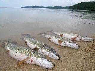 выращивание рыбы в домашних условиях