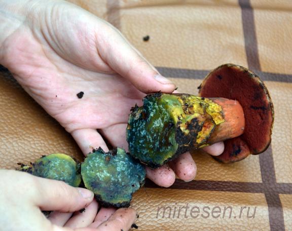 Странный гриб найден в Ленинградской области