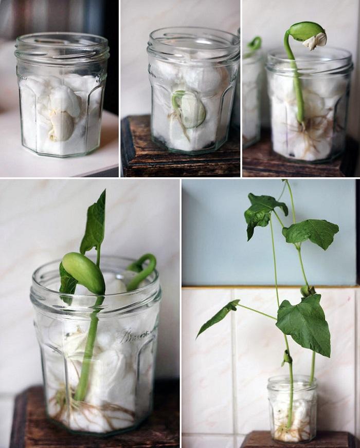 проращивание семян в вате