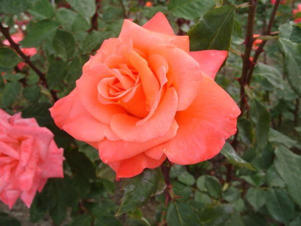 Роза сорт Лезгинка