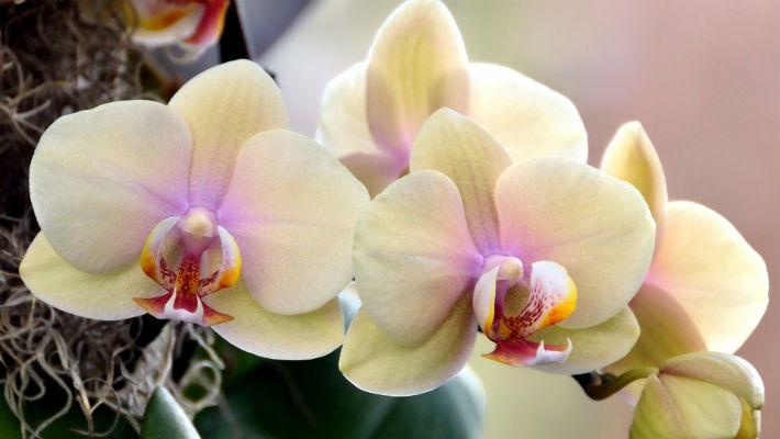 Как заставить Орхидеи красиво цвести