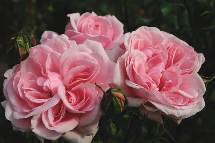 Роза флорибунда Home & Garden