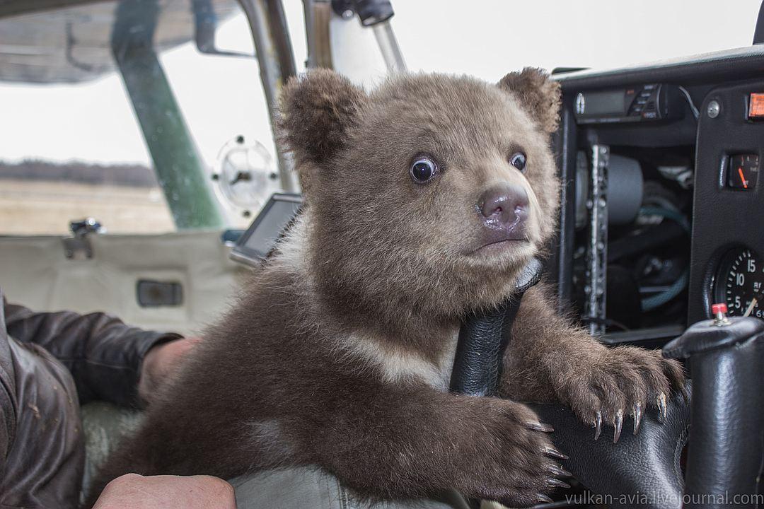 Под Тверью авиаторы соорудили берлогу для медвежонка Мансура и охраняют его сон