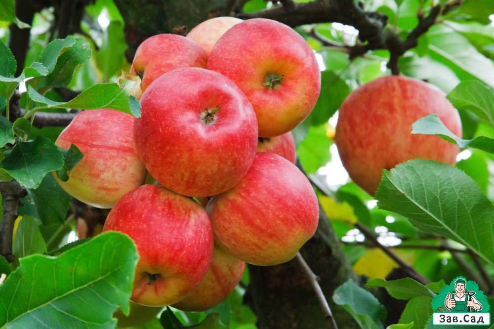 Уход за яблоней осенью.