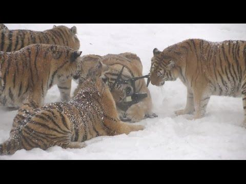 На голодном пайке: Толстые амурские тигры сбили и съели беспилотник