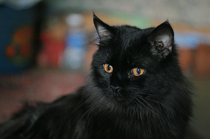 Кот бродил по квартире, но при внезапном шуме мигом забивался под диван...