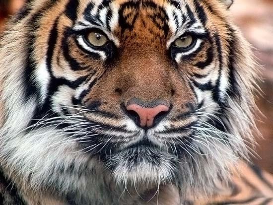 Картинки по запросу Индии шкуры тигров