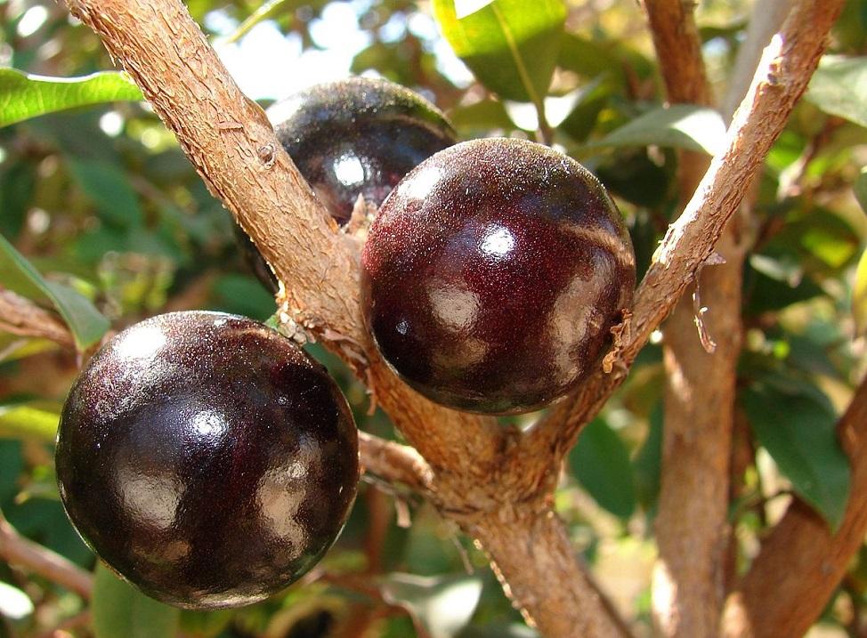 Редкие плодовые деревья нашей планеты. Фото