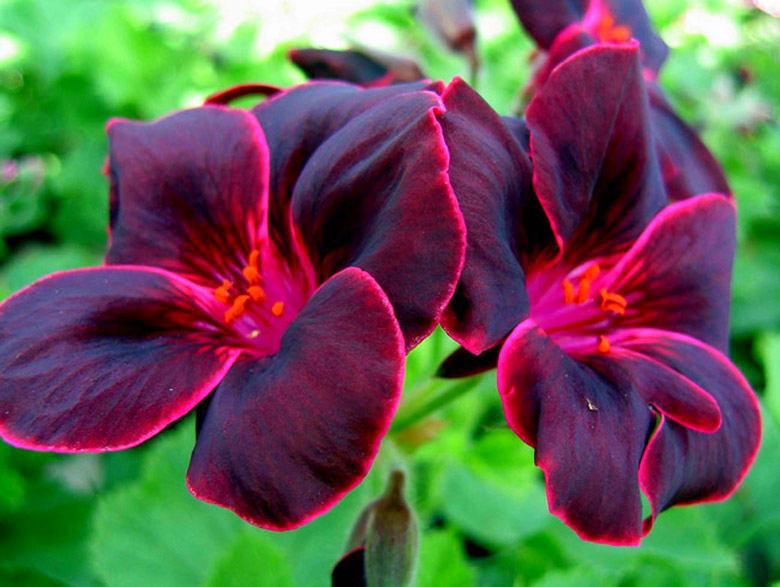 Фиолетово-розовый цвет герани