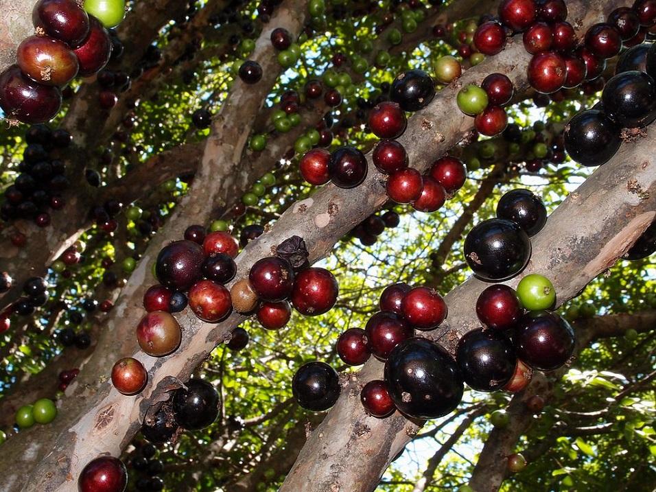 Необычное бразильское виноградное дерево. Фото