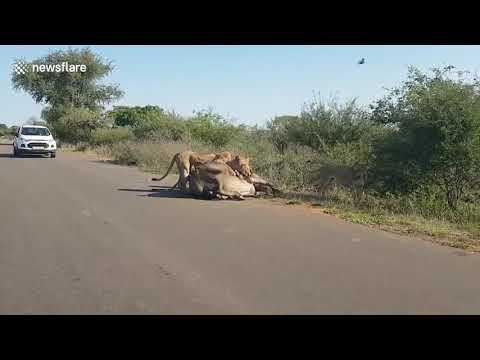 Четыре льва против буйвола. …