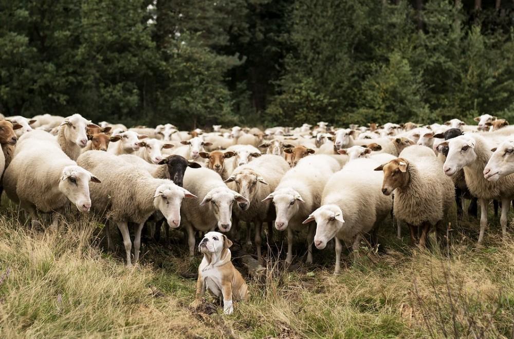 Властелин овец?