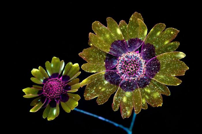 Волшебные фотографии цветов, освещённых ультрафиолетом