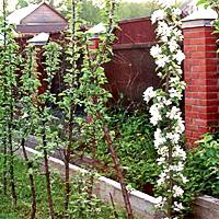 Колоновидные яблони: посадка и уход, обрезка и выращивание, лучшие сорта.