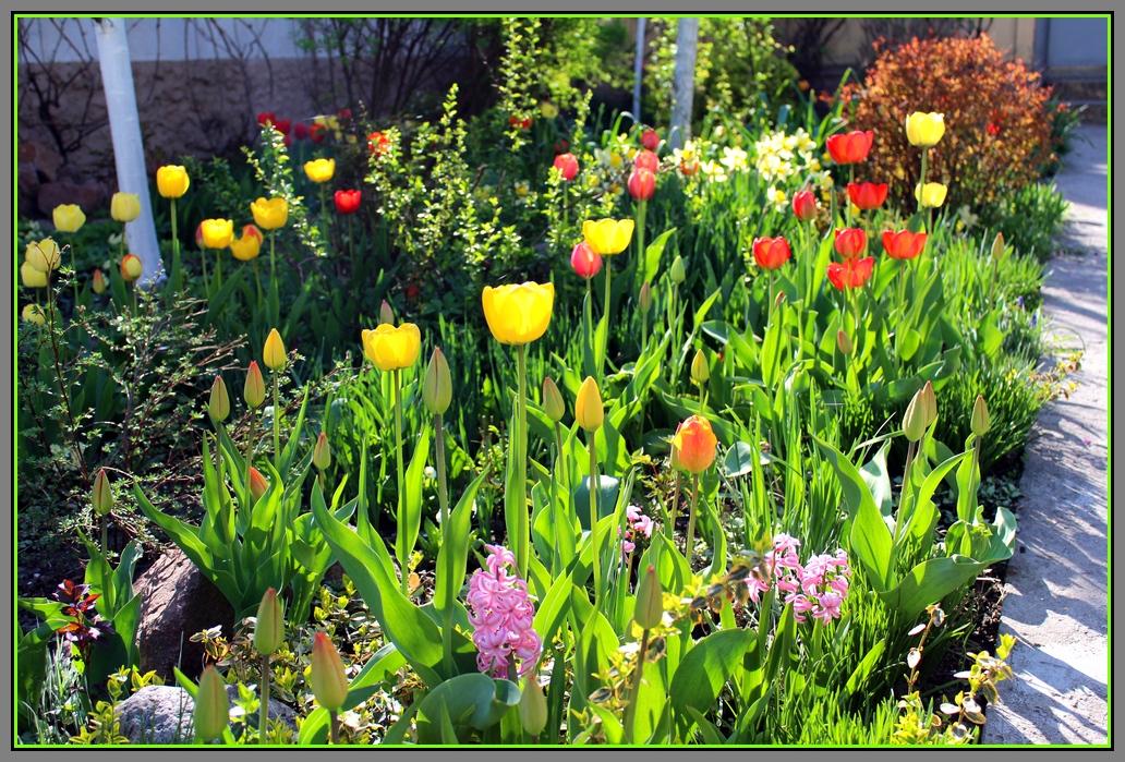 Мой дикий сад. Весна. Тюльпаны. ч.1