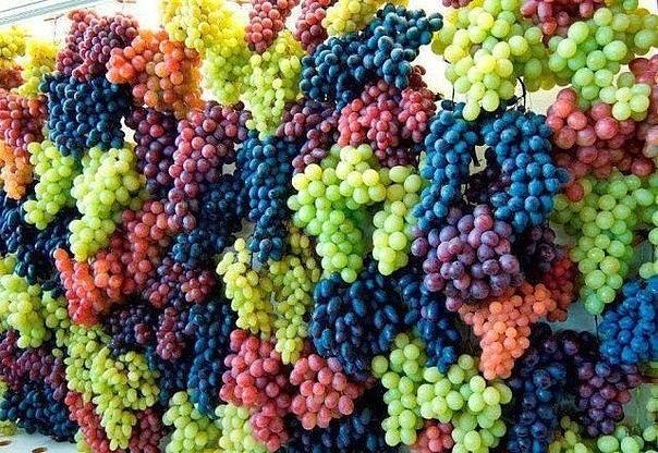 Осенняя обрезка винограда: когда и как?