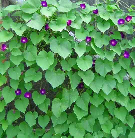 Фиолетовый вьюнок на фоне зеленых листов