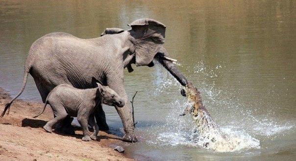 Жестокий бой слона с крокодилом