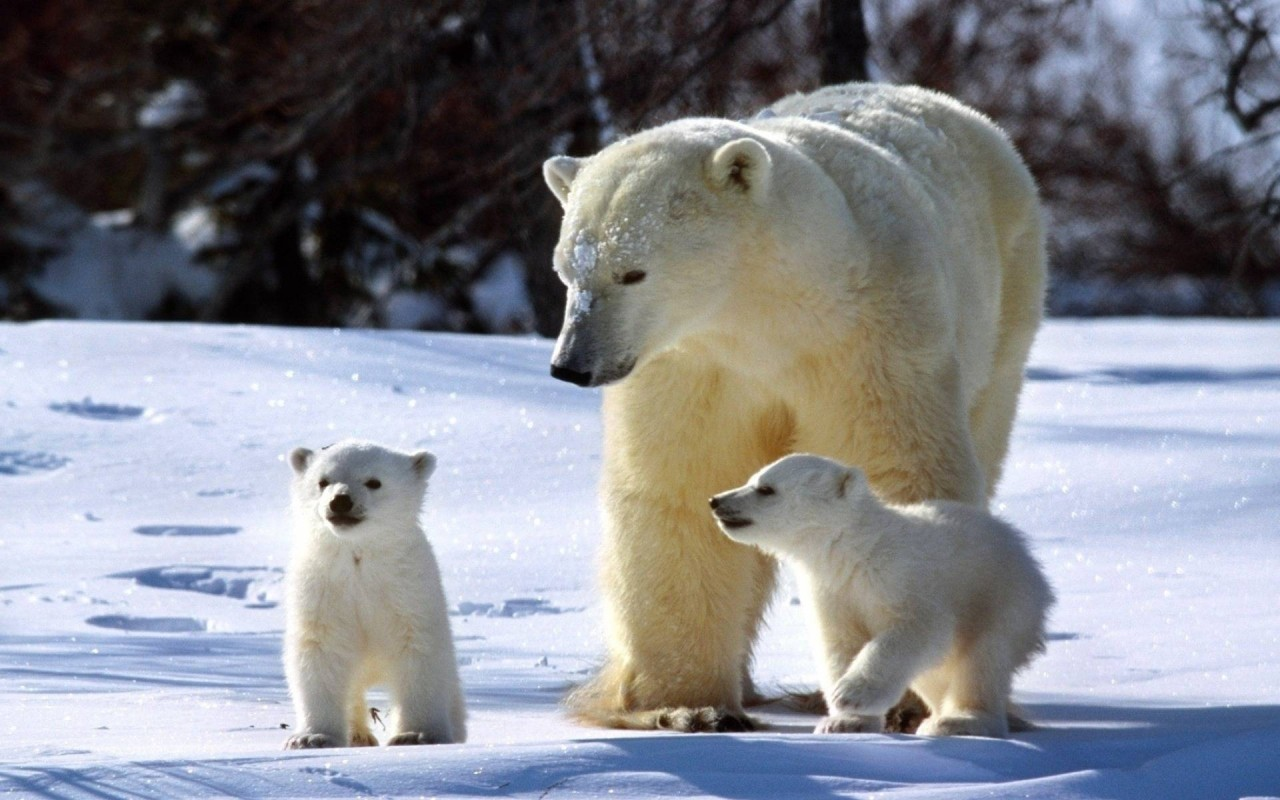 Биологи обнаружили процветающую популяцию белых медведей в Чукотском море