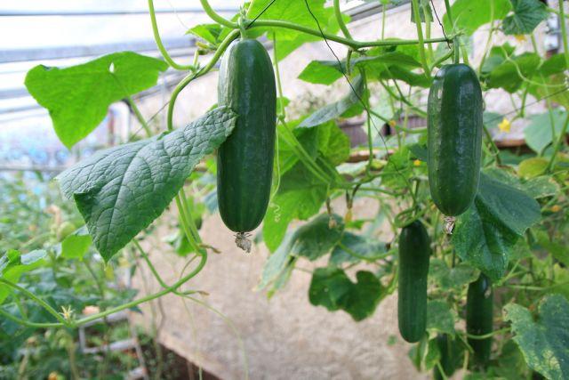 Свежие огурцы – до осени. Как продлить плодоношение?