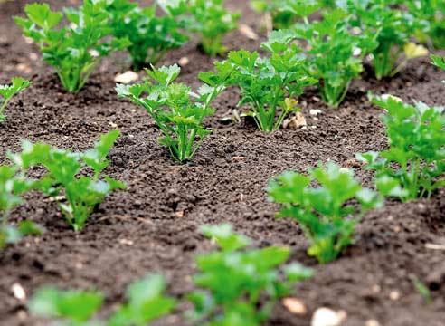 Знаете ли вы, что петрушку можно вырастить буквально в течение 3 часов?