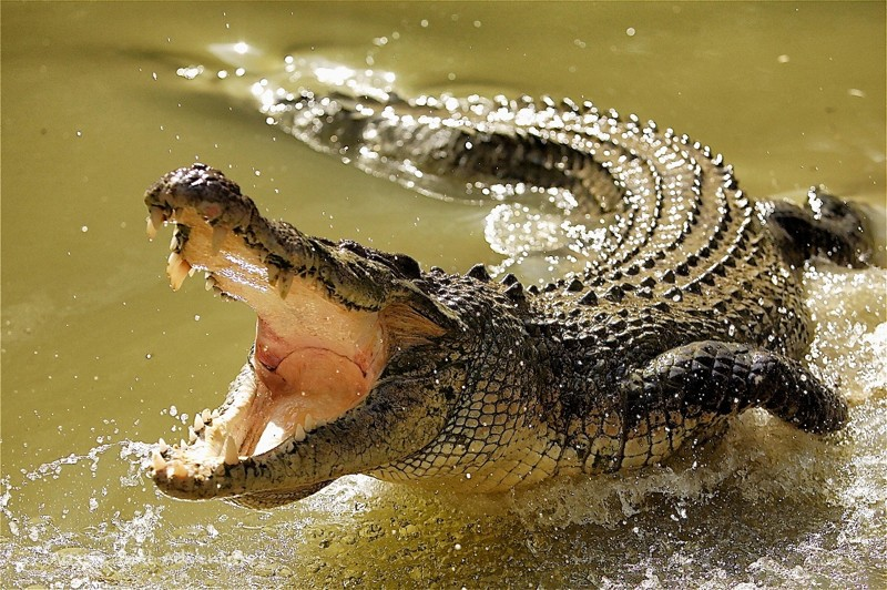 Крокодилы. Интересные факты 2