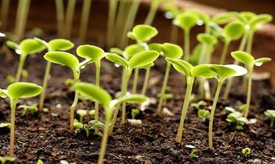 Что делать, чтобы семена быстрее проросли?
