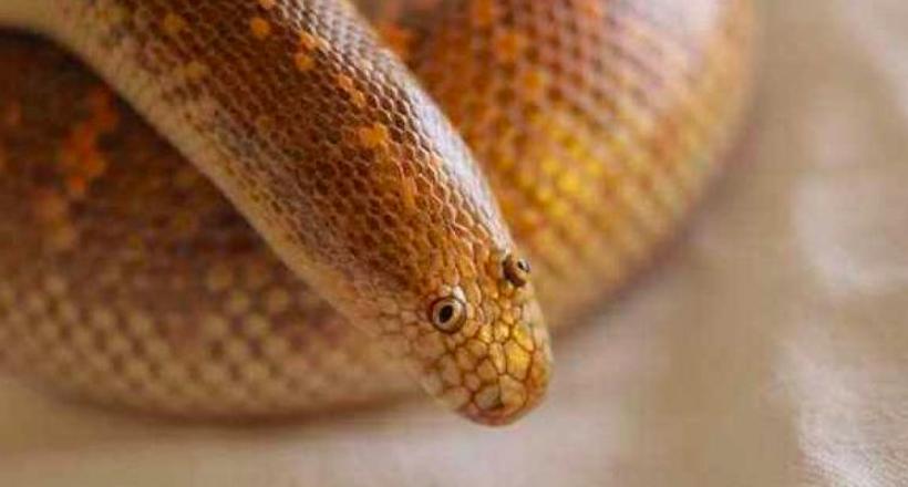 Змея, которая выглядит настолько странно, что ее называют самым нелепым животным