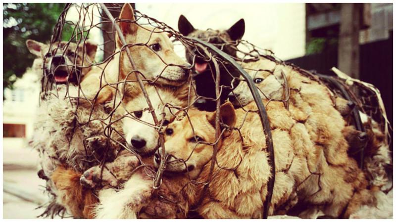 Китаянка выкупает собак на фестивале собачьего мяса