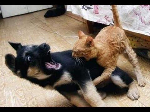Прикол! Смешное знакомство собаки с кошкой!
