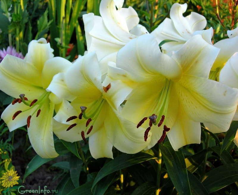 Особенности выращивания восточных лилий 13