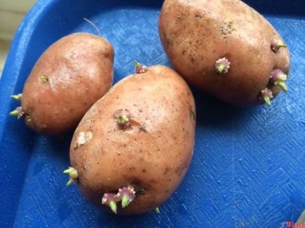 Как правильно отобрать картофель на посадку