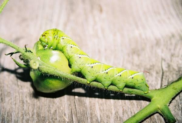 Как избавиться от гусениц на помидорах в теплице