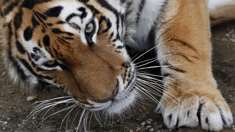 В США усыпили привезённого из России амурского тигра