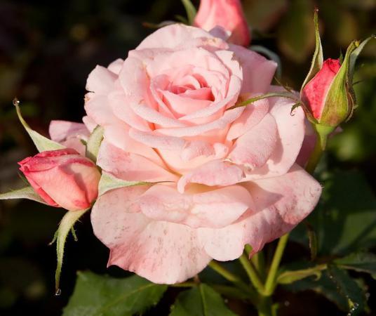 Нежная роза может стать хорошей защитой от негатива