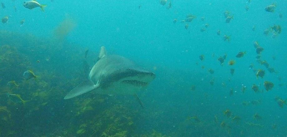 Дружба акулы и дайвера