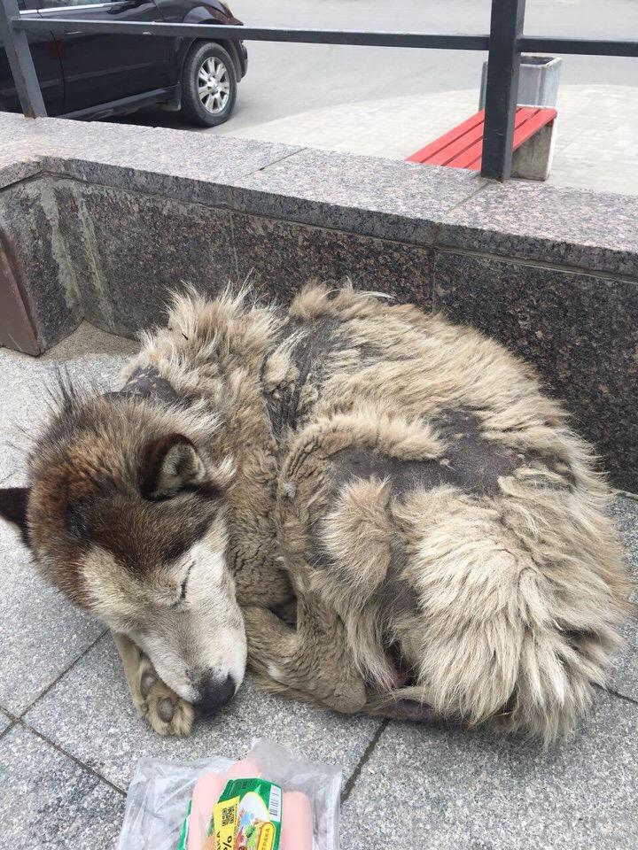 В грязном уличном псе едва удалось признать статного хаски