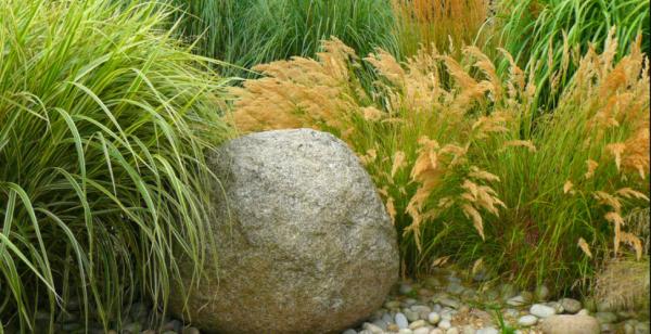 Декоративные злаки как украшение сада