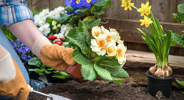 Пересадка многолетних цветов на клумбах приусадебных участков