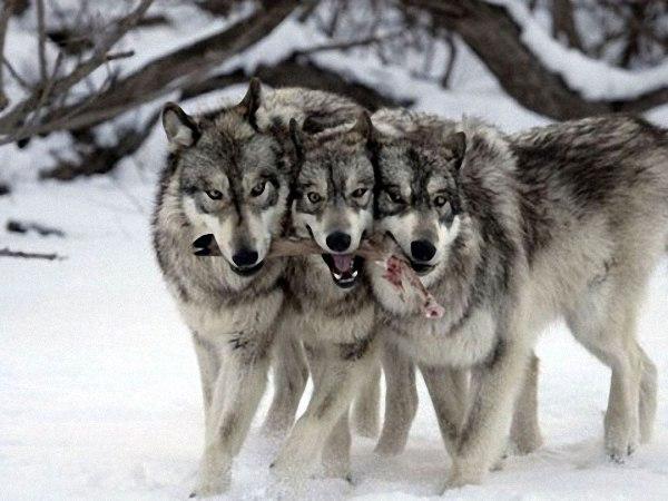 Волки - регуляторы экосистемы