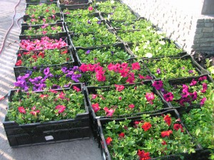 Эффективный способ выращивания рассады цветов!