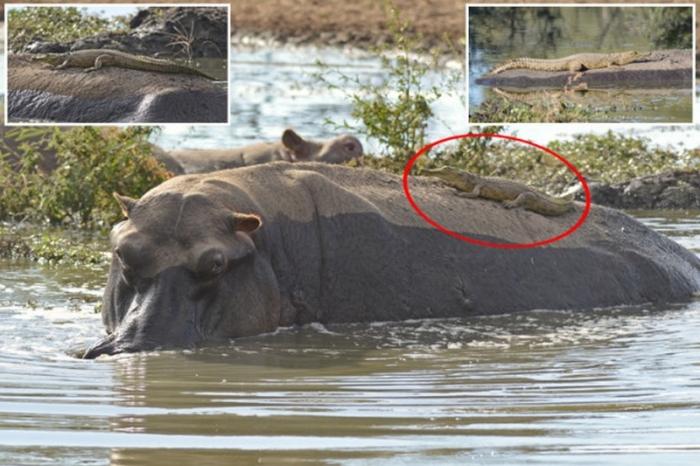 Нильский крокодильчик прокат…
