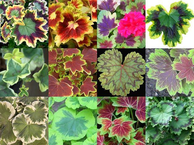 Разноцветные цвета герани