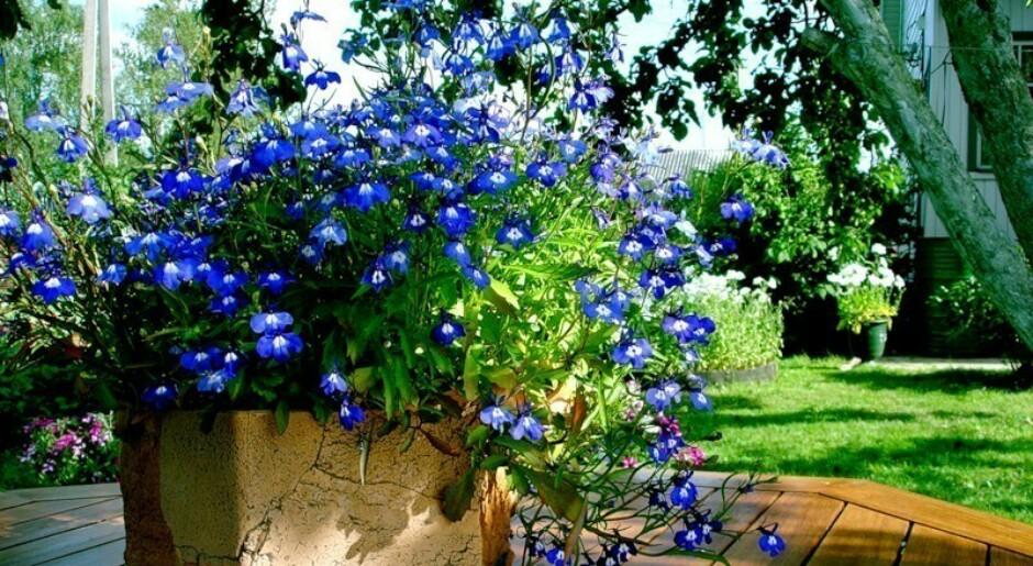 Цветы для дачного участка многолетники