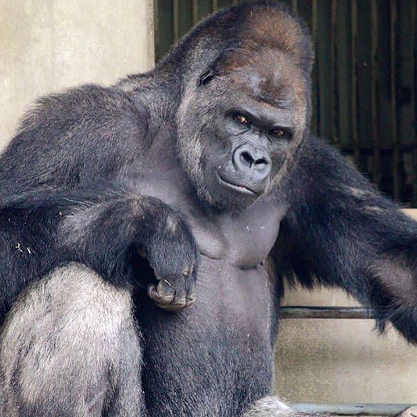 В японском зоопарке живет невероятно красивый самец гориллы