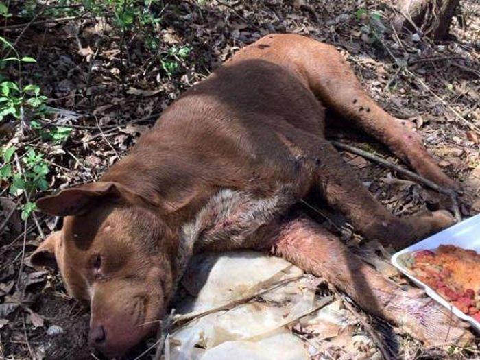 Спасение питбуля, которого оставили умирать в лесу